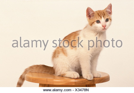 Domestic Cat Kitten 14 weeks old - Stock Photo