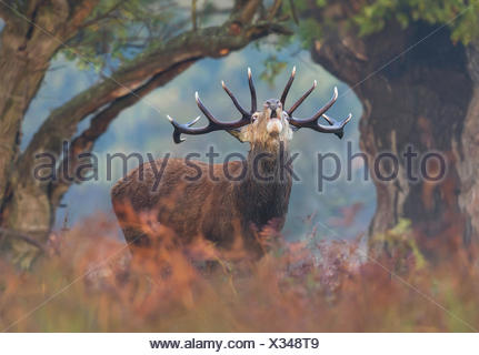 Red deer stag bellowing at dawn, London UK - Stock Photo