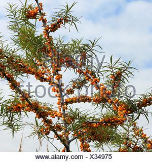 Branches of Sea-Buckthorn with fruits - Stock Photo