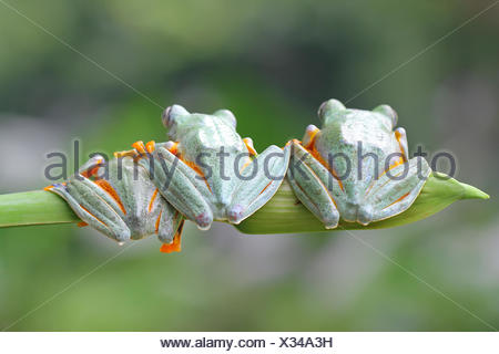 Three javan gliding Tree frogs sitting in a row, Indonesia - Stock Photo