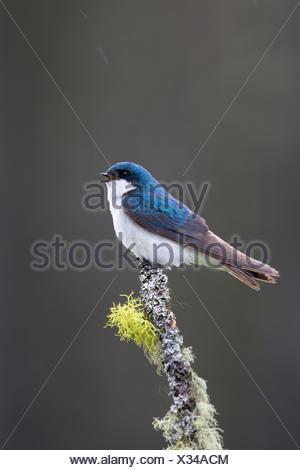 Tree swallow (Tachycineta bicolor), male, singing in the rain, Lac Le Jeune, British Columbia. - Stock Photo