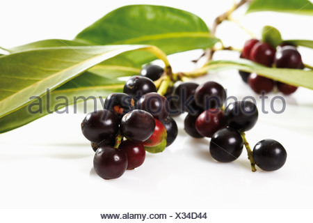 Cherry Laurel (Prunus laurocerasus) - Stock Photo