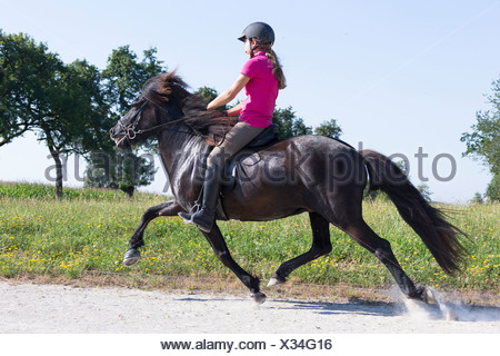 Icelandic Horse. Black mare with rider at the flying pace