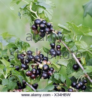 European black currant (Ribes nigrum 'Ben Sarek', Ribes nigrum Ben Sarek), cultivar Ben Sarek - Stock Photo