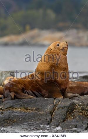 Stellar Sea Lion, Eumetopias jubatus, hauled out at Race Rocks, Near Victoria, British Columbia, Canada - Stock Photo