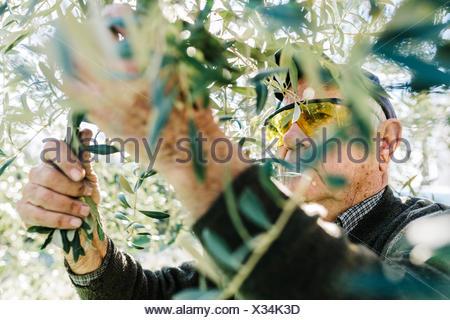 Spain, Tarragona, senior man harvesting olives - Stock Photo