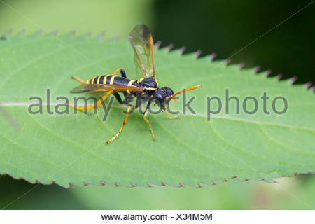 Figwort Sawfly (Tenthredo scrophulariae), on a Himalyan Balsam (Impatiens glandulifera) leaf, South Wales, United Kingdom - Stock Photo