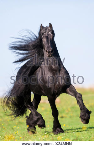 Frisian Horse. Black stallion trotting on a pasture. Germany - Stock Photo