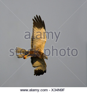western marsh harrier (Circus aeruginosus), male flying with prey in the claws, Netherlands, Texel - Stock Photo