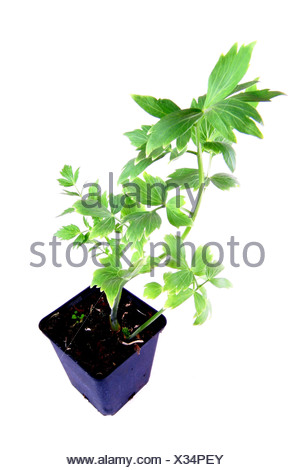 garden lovage, bladder seed (Levisticum officinale), potted plant - Stock Photo