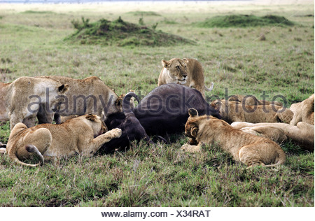 Pride of Lions lionesses and cubs feeding on freshly killes Buffalo carcass Masai Mara National Reserve Kenya East Africa - Stock Photo