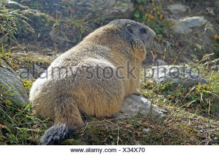 mountains animal mammal alps rodent switzerland skin feed warm-up high - Stock Photo