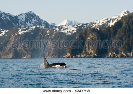 killer whale, or orcas, Orcinus orca, large bull swimming in Resurrection Bay, Kenai Fjords National Park, outside Seward, southcentral Alaska, spring - Stock Photo