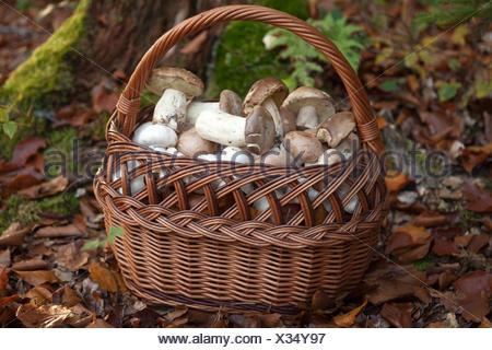 Korb mit frischen Pilzen im Wald - Stock Photo