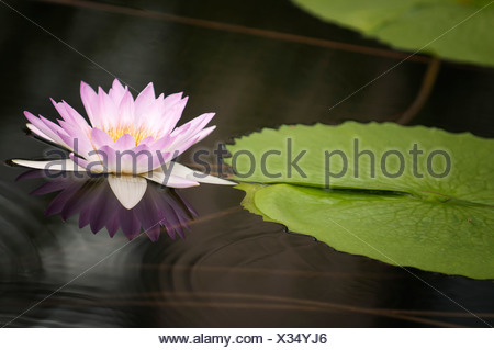 Water lily, Nymphaea. Single pink flower and lily pad reflected in water surface. - Stock Photo