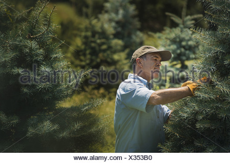 New York state USA man protective gloves pruning crop of conifers - Stock Photo