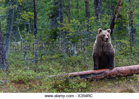 A European brown bear,Ursus arctos arctos,standing on a dead log. - Stock Photo