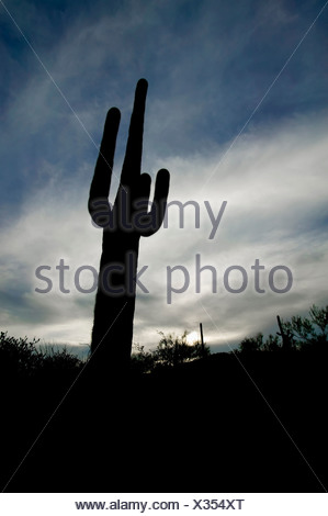 Saguaro cactus silhouetted against a cloudy sky at sunset. - Stock Photo