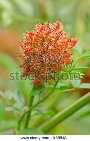 Licorice (Glycyrrhiza glabra), fruit, Germany - Stock Photo