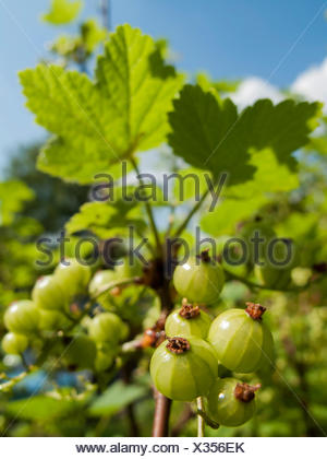 Rote Johannisbeere (Ribes rubrum), unreife Fruechte am Strauch, Deutschland | northern red currant (Ribes rubrum), immature frui - Stock Photo