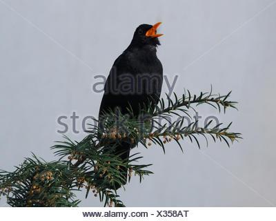 Blackbird (Turdus merula) sings with open beak on a branch,Leoben,Styria,Austria - Stock Photo