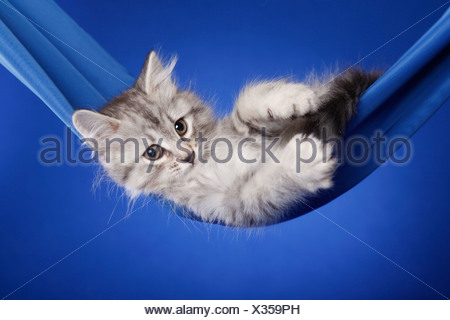 Siberian kitten - Stock Photo