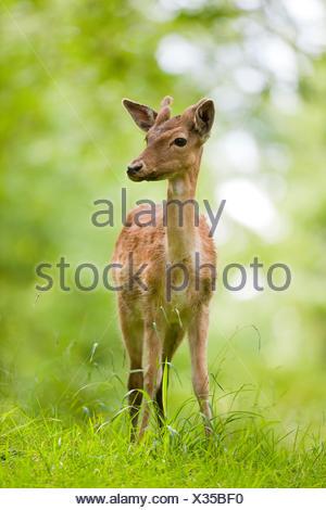 Fallow Deer (Dama dama), young fallow deer with velvet antler, captive, Bavaria, Germany - Stock Photo