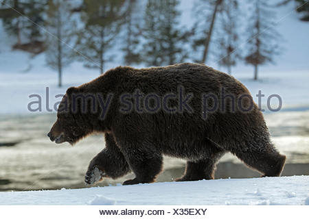 A grizzly bear, Ursus arctos horribilis, on the move in Yellowstone National Park. - Stock Photo