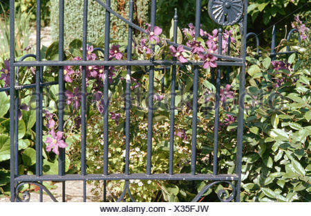 Close-up of purple clematis on a metal gate - Stock Photo