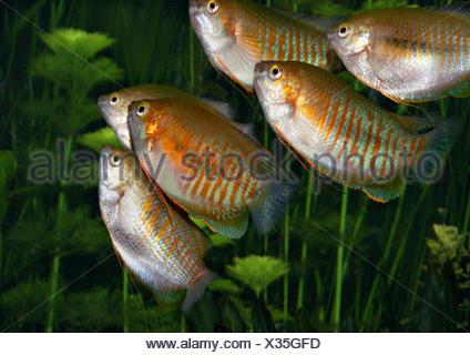 golden gourami, Trichogaster trichopterus, Anabantoidei, group - Stock Photo