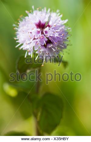 Water Mint (Mentha aquatica) flower - Stock Photo