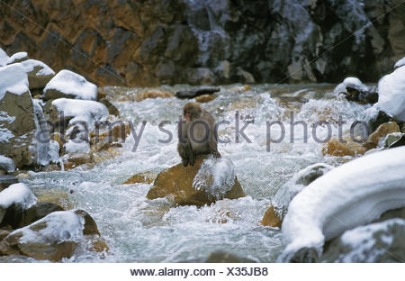 JAPANESE MACAQUE macaca fuscata, ADULT CROSSING RIVER, HOKKAIDO IN JAPAN - Stock Photo
