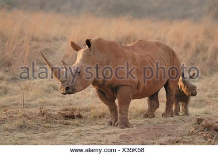 white rhinos - Stock Photo