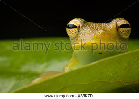 Portrait of a granular glass frog, Cochranella granulosa. - Stock Photo