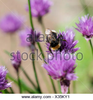chives and erdhummeln - Stock Photo