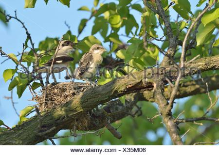 Lesser Grey Shrike (Lanius minor), perched on nest with juvenile bird, Bulgaria - Stock Photo