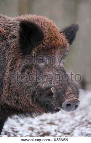 Wild Boar (Sus scrofa), boar, captive, Bavaria, Germany - Stock Photo
