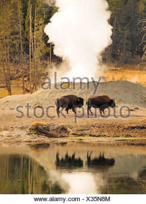 American bison, buffalo (Bison bison), buffalos in front of hot springs, USA, Wyoming, Yellowstone National Park, West Thumb Geysir Basin - Stock Photo