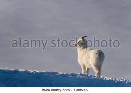 Dall Sheep ewe on a ridge above Kluane Lake, Sheep Mountain, Kluane National Park, Yukon Territory, Canada - Stock Photo