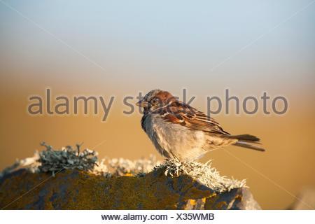 House Sparrow (passer domesticus) side view on wall, Fair Isle, Shetland, United Kingdom - Stock Photo
