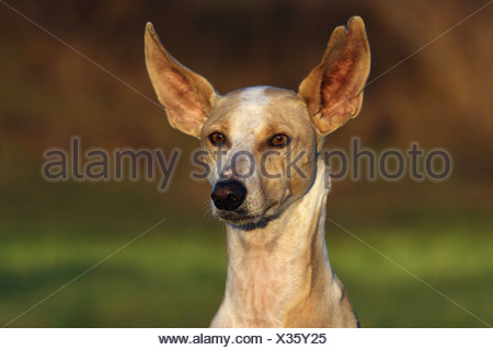 Podenco Canario Portrait - Stock Photo
