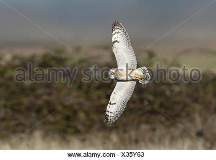 Short-eared Owl - Asio flammeus - Stock Photo