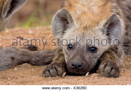 Close-up of a spotted hyena (Crocuta crocuta) pup resting with it's paws outstretched and chin on the floor - Stock Photo