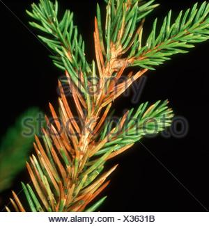 Green spruce aphid Elatobium abietinum damage to Norway spruce needles - Stock Photo