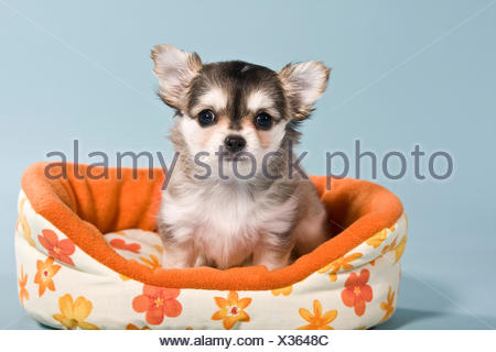 Chihuahua puppy in basket