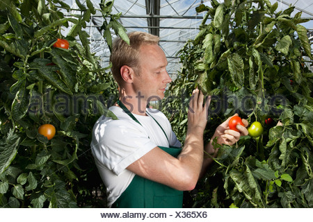 A man holding a ripe tomato growing on a vine - Stock Photo