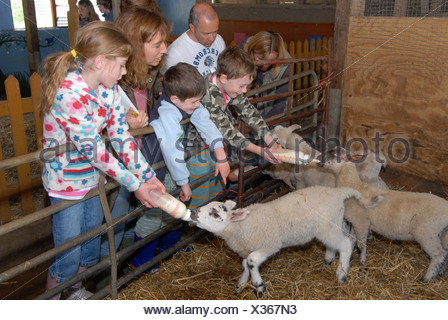 Domestic Sheep, lambs, bottle fed by children visting farm on 'Farm Sunday' annual national NFU event, Oxfordshire, England, - Stock Photo