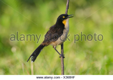 A black-capped donacobius, Donacobius atricapilla, perched on a tree branch and calling. - Stock Photo