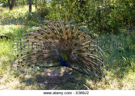 Greece, Rhodes, Filerimos, blue peacock, cloister park, cloister park, park, animal, peacock, Phasianidae, gallinaceous birds, at the side, 'radian', admirably, peacock's feathers, manly, decorated, plumage, plumage, feathers, - Stock Photo