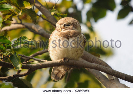 The Jungle Owlet or Barred Jungle Owlet, Glaucidium radiatum is found in India and the dry zone of Sri Lanka. - Stock Photo